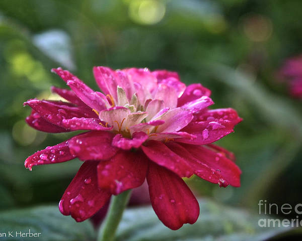 Flower Poster featuring the photograph Zinnia Quenched by Susan Herber