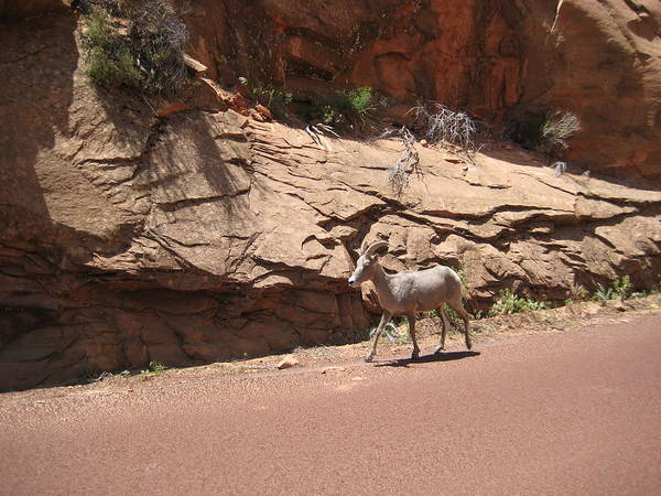 Mount Zion National Park Poster featuring the photograph Zion Mountain Goat by Marcia Crispino