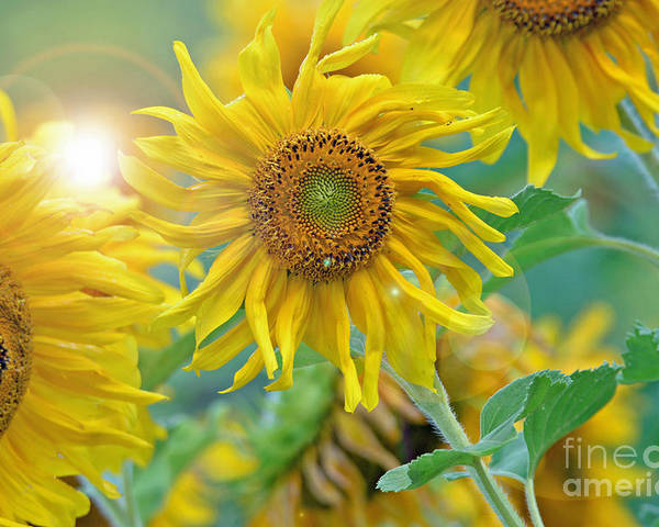 Sunflower Poster featuring the photograph Sunflower by Lila Fisher-Wenzel