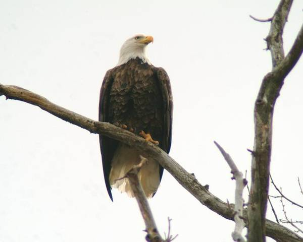 Eagle Poster featuring the photograph 021609-17 by Mike Davis