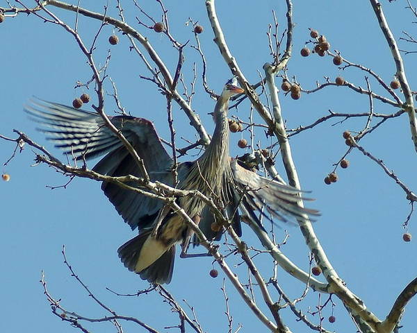 Great Blue Heron Poster featuring the photograph 040510-72 by Mike Davis