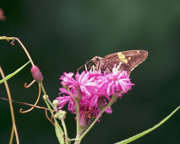 Butterfly Poster featuring the photograph 072106-19 by Mike Davis