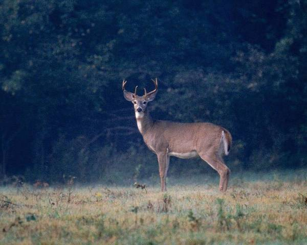 Deer Poster featuring the photograph 072106-25 by Mike Davis