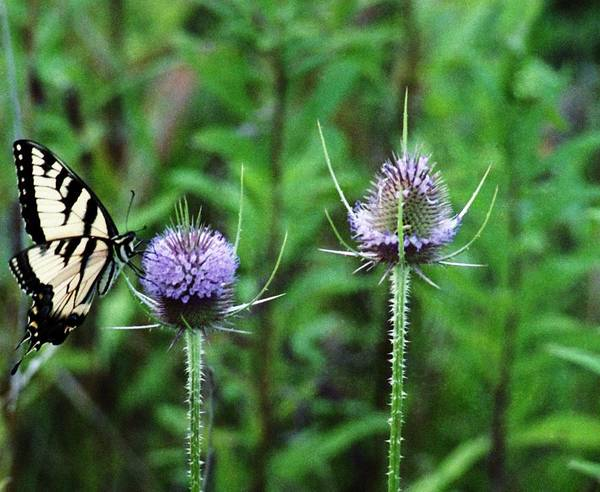 Butterfly Poster featuring the photograph 072206-2 by Mike Davis