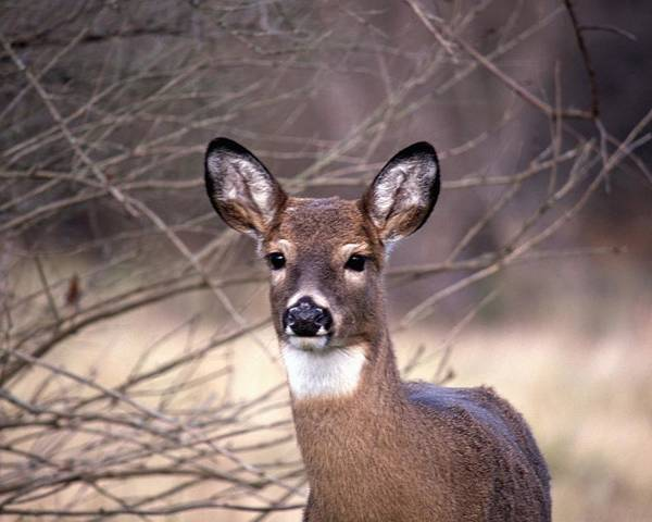 Deer Poster featuring the photograph 112601-30 by Mike Davis