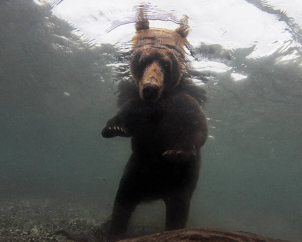 Outdoors Poster featuring the photograph A Brown Bear Fishing For Salmon by Randy Olson