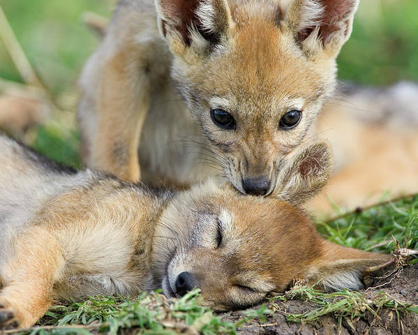 Mp Poster featuring the photograph Black-backed Jackal Canis Mesomelas by Suzi Eszterhas