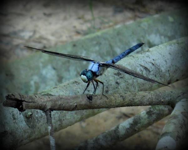Dragonfly Poster featuring the photograph Blue Dragonfly by Adam Coleman