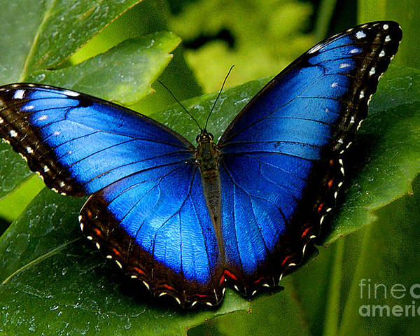 Butterfly Poster featuring the photograph Blue Morpho by Neil Doren