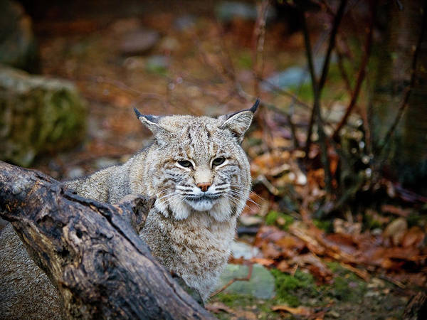 Bobcat Poster featuring the photograph Bobcat by Jim DeLillo