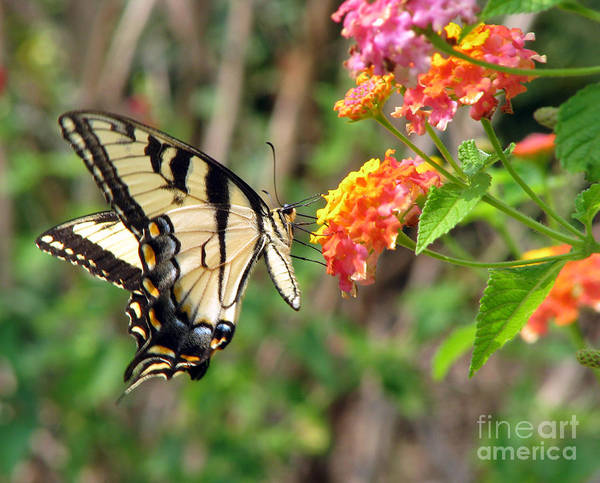 Butterfly Poster featuring the photograph Butterfly by Amanda Barcon