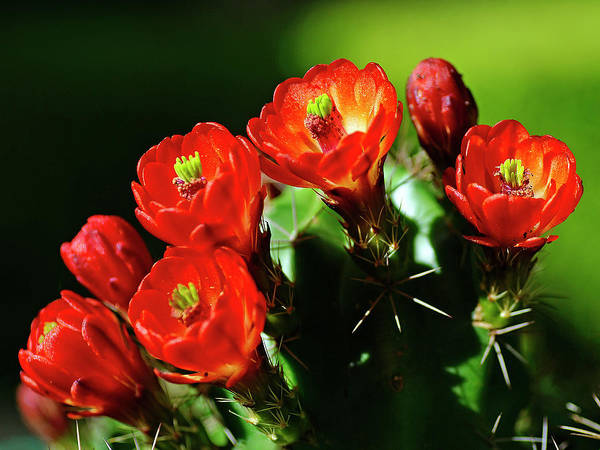 Claret Cup Cactus Poster featuring the photograph Claret Cup Cactus by Bill Morgenstern