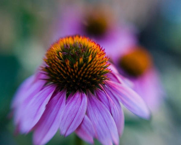 Conflower Poster featuring the photograph Coneflower Ballet by Sandy Belk