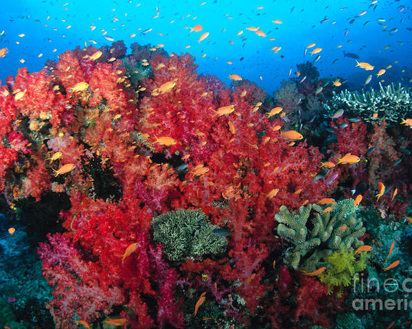 Alcyonarian Poster featuring the photograph Coral Reef Scene by Dave Fleetham - Printscapes