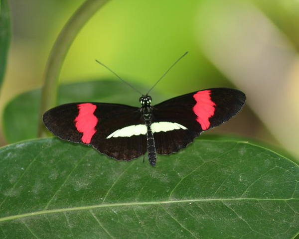 Crimson Poster featuring the photograph Crimson Patched Longwing by Jeff VanDyke