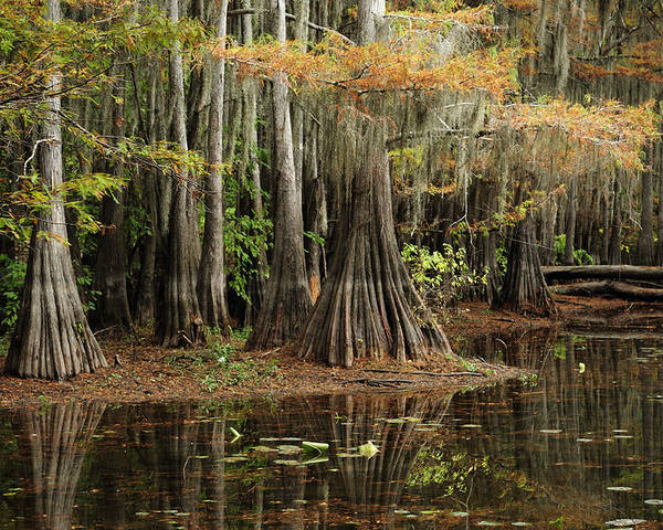 Caddo Lake Poster featuring the photograph Cypress Trees In Caddo Lake by Iris Greenwell