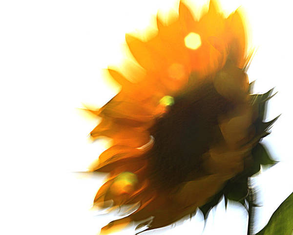 Sunflowers Poster featuring the photograph Devotion by Robert Shahbazi