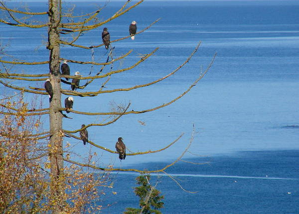 Eagle Poster featuring the photograph Eagle Tree By The Salish Sea by Ed Mosier