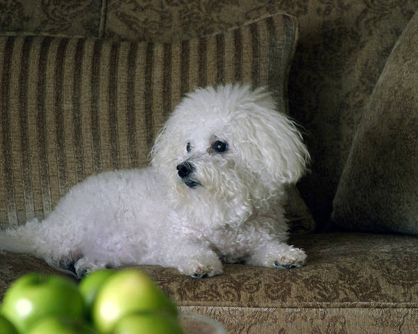 Animal Poster featuring the photograph Fifi The Bichon Frise by Michael Ledray