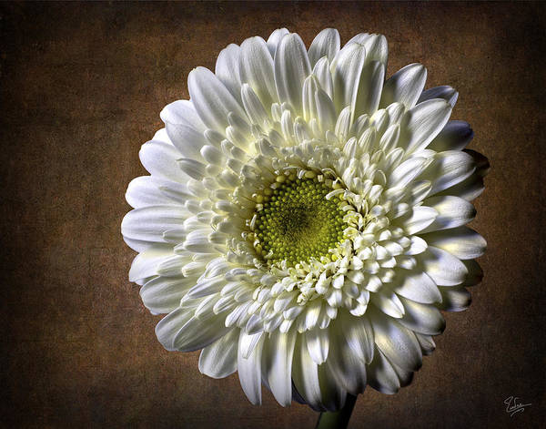Gerbera Poster featuring the photograph Gerbera by Endre Balogh