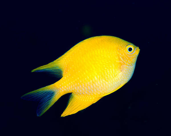30-pfs0131 Poster featuring the photograph Golden Damselfish by Dave Fleetham - Printscapes