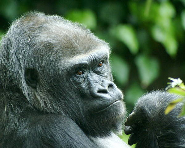 Animal Poster featuring the photograph Gorilla Headshot by Sonja Anderson