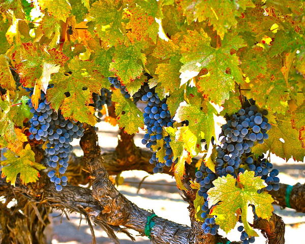Blue Grapes Poster featuring the photograph Grapes by Dorota Nowak