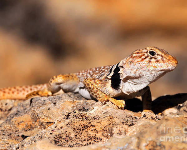 Great Poster featuring the photograph Great Basin Collared Lizard by Gary Whitton