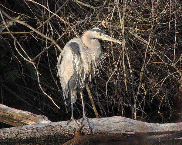 Animal Poster featuring the photograph Great Blue Heron by Ann Bridges