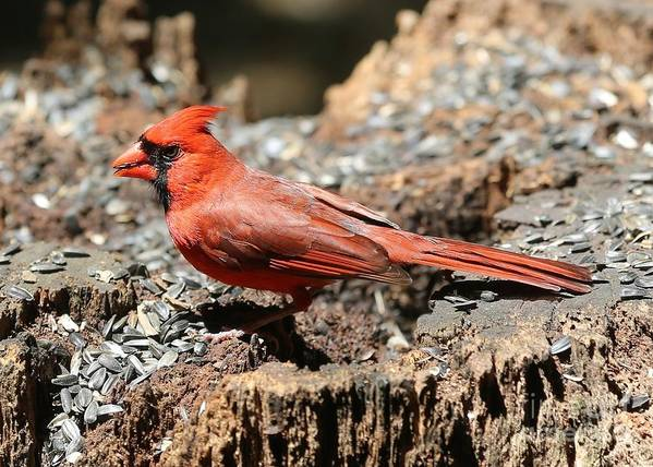 Cardinal Poster featuring the photograph Hungry Cardinal by Carol Groenen