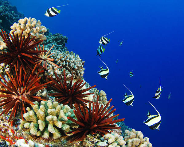 Animal Art Poster featuring the photograph Hawaiian Reef Scene by Dave Fleetham - Printscapes