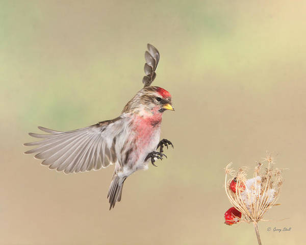 Nature Poster featuring the photograph Hip Hip by Gerry Sibell