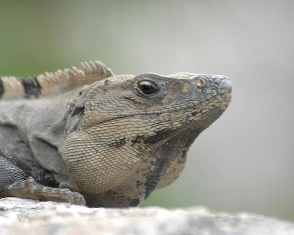 Nature Poster featuring the photograph Iguana by Paul Gavin
