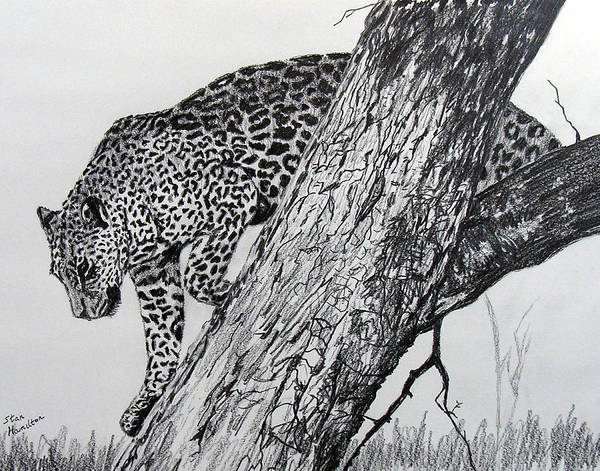Jaquar Poster featuring the drawing Jaquar in Tree by Stan Hamilton
