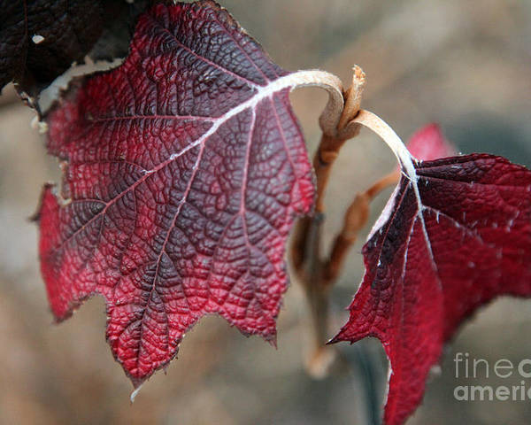 Fall Poster featuring the photograph Leaves by Amanda Barcon