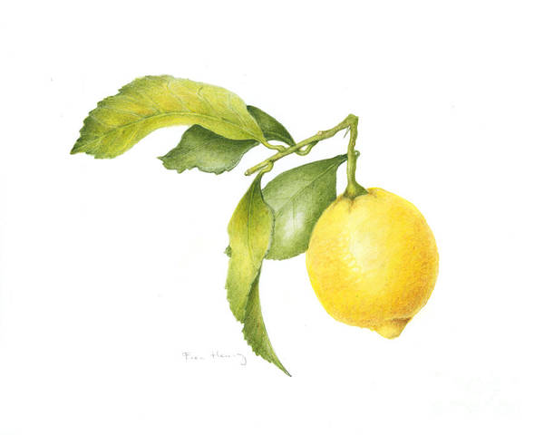 Lemon Poster featuring the painting Lemon by Fran Henig