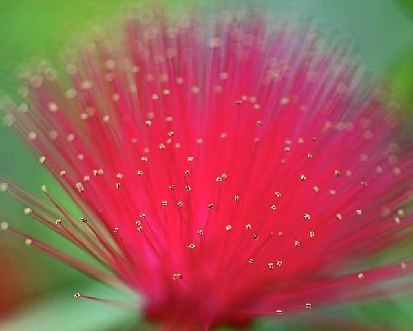 Calliandra Poster featuring the photograph Light My World by Michiale Schneider