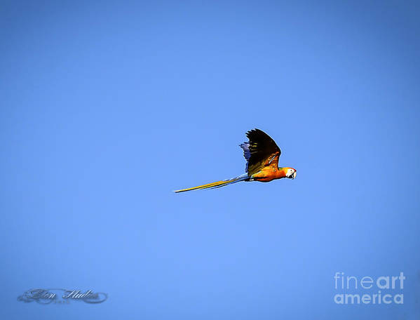Photoshop Poster featuring the photograph Macaw In Flight by Melissa Messick