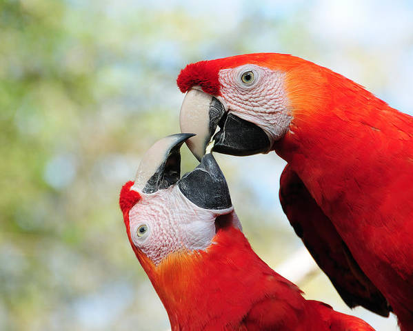 Bird Poster featuring the photograph Macaws by Steven Sparks