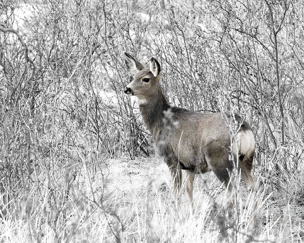 Animal Poster featuring the photograph Mule Deer In Winter In The Pike National Forest by Steve Krull
