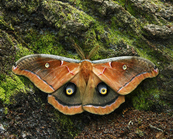 Moth Poster featuring the photograph Natures Eyes by David Paul Murray