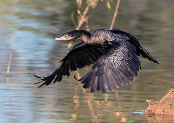 Neotropic_cormorant Poster featuring the photograph Neotropic Cormorant by Tam Ryan