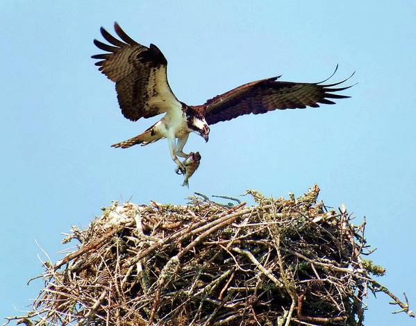 Osprey Poster featuring the photograph Open Wings by Karen Wiles