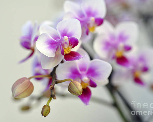 Orchid Poster featuring the photograph Orchids by LS Photography