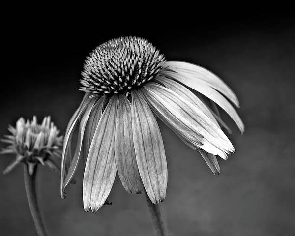Flower Poster featuring the photograph Passages Bw by Steve Harrington