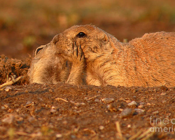 Prairie Dog Poster featuring the photograph Prairie Dog Tender Sunset Kiss by Max Allen