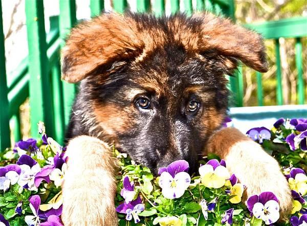 German Shepherd Dog Poster featuring the photograph Puppy Oskar by Danielle Sigmon