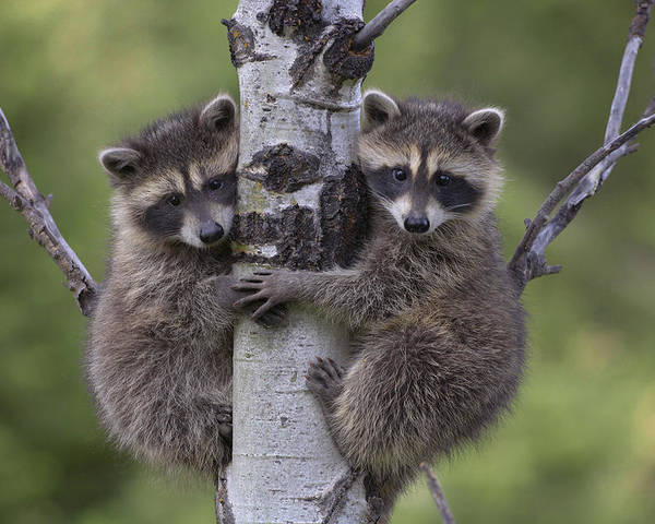 00176520 Poster featuring the photograph Raccoon Two Babies Climbing Tree North by Tim Fitzharris