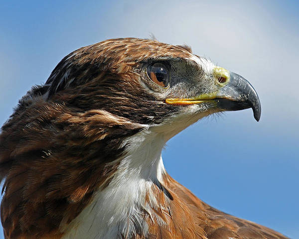 Red-tailed Hawk Poster featuring the photograph Red-tailed Hawk by Alan Lenk