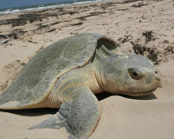 Ashore Poster featuring the photograph Sea Turtle by FL collection